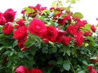 Розы ну почти в конце зимы